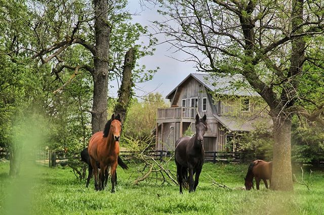 Caballos. . . . . . #horse #horses #horsesofinstagram #horses🐴 #cowboy #marlboro #wildhorse #green #sunday #walkingaround #ranchday #paparazzi #indy #illinois #indiana #thisisamerica #summerday #oldschool #rancho #caballo #caballos #instahorses #instahorse