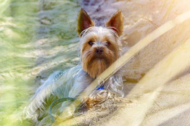 El Dog. . . . . . #raw #canon7d #beach #badbitches #bitchonthebeach #colorgrade #dog  #chewbacca #wookie #yorkiesofinstagram #yorky #yorkshireterrier #dayshot #85mm #rokinon #cinelens #7d #canon #doggystyles #doggo #flare
