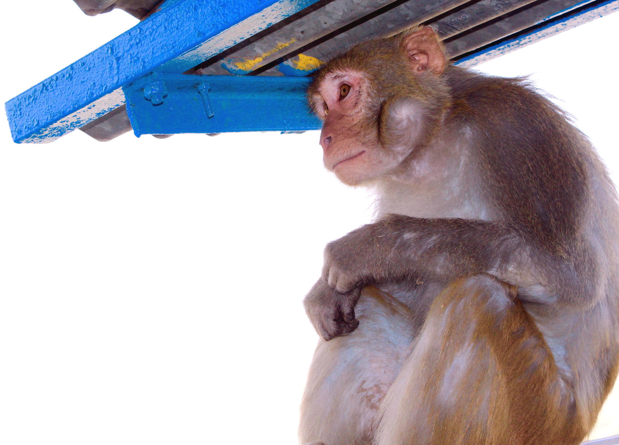 Meditative Monkey.jpg