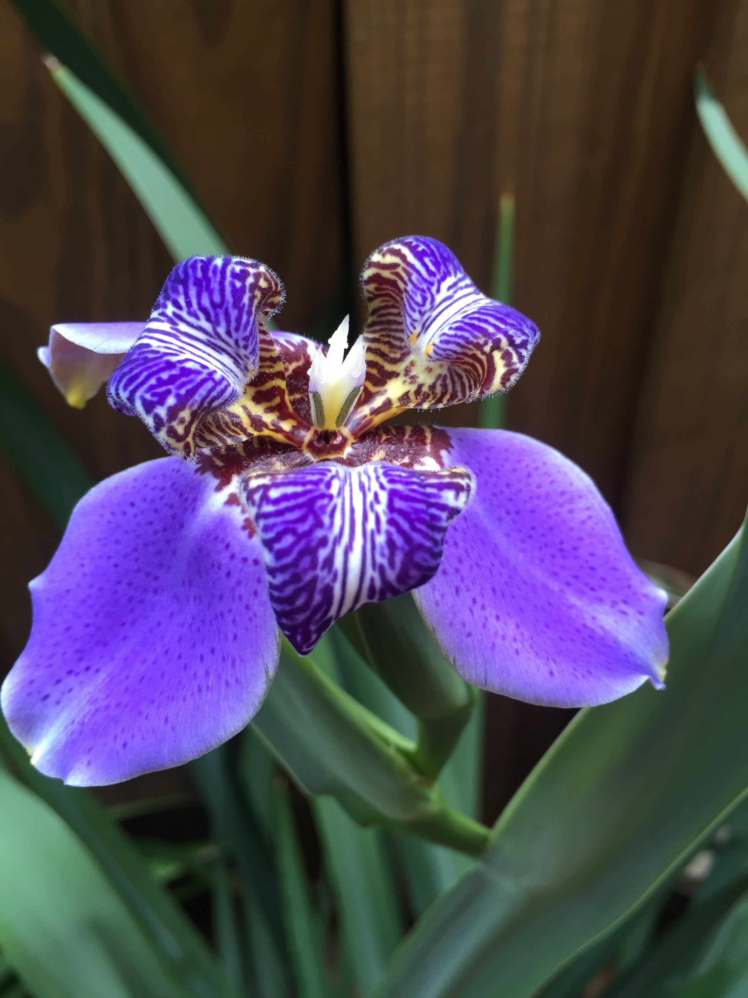 Scott giant iris 2 - Copy.jpg