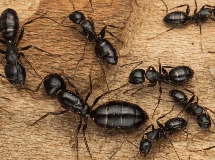 Carpenter ants won't eat the wood in your house, but instead they will  burrow though it to make a cozy nest for themselves and their relatives.