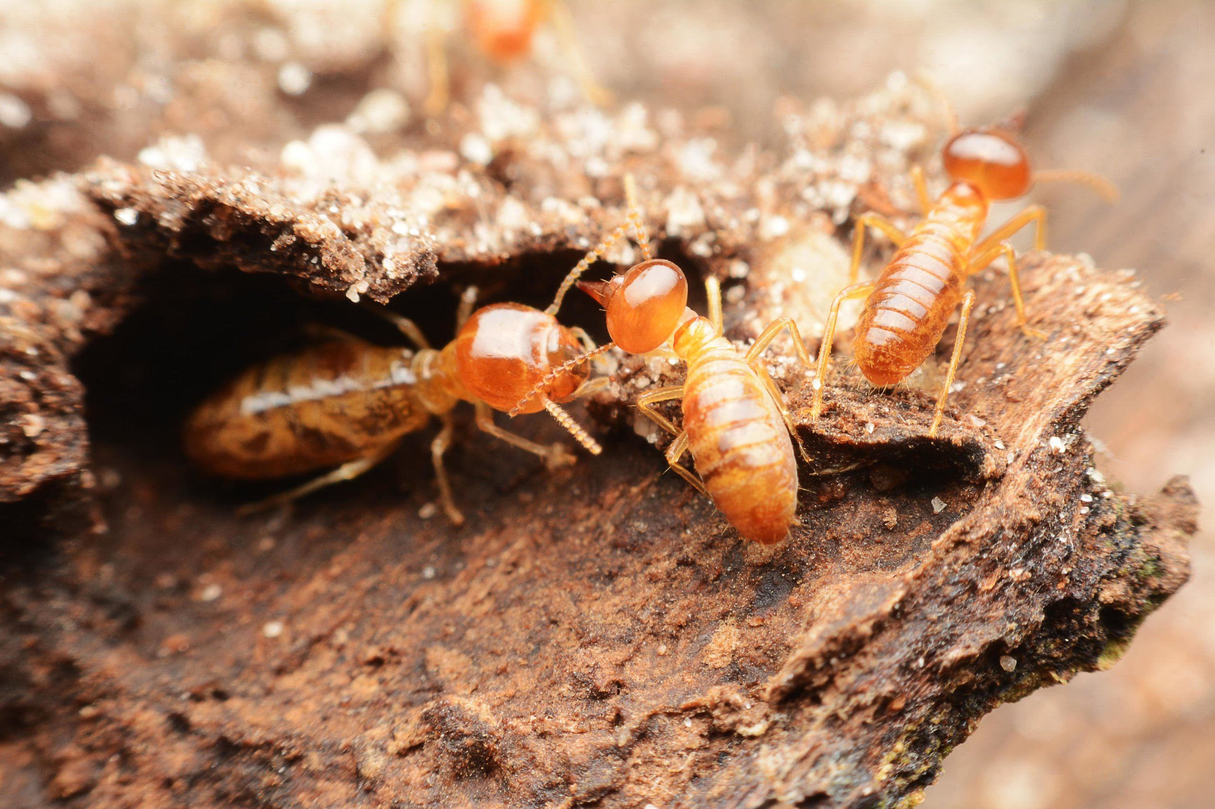 Termites live to eat wood and are the most destructive of these wood-boring insects.