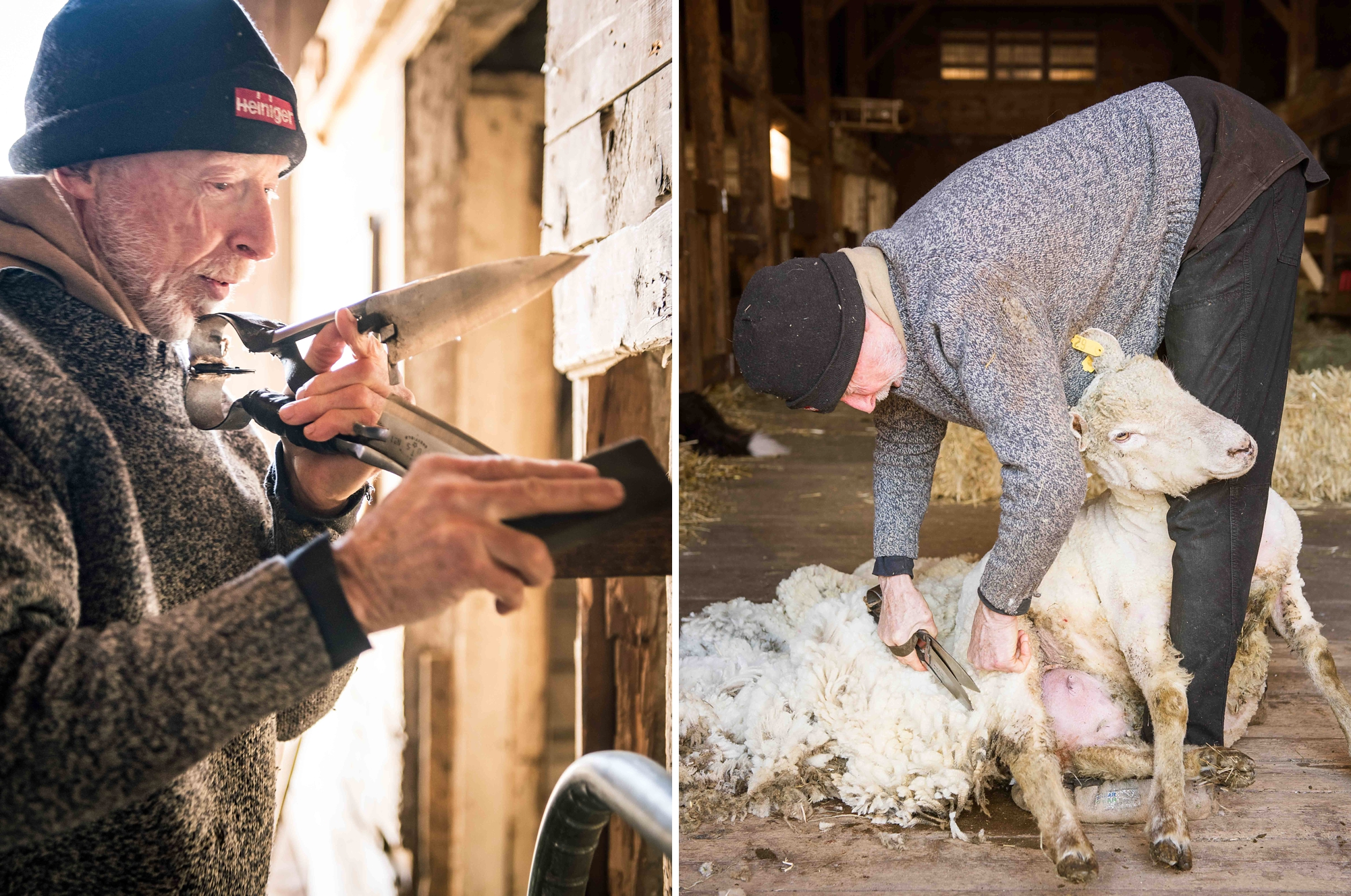 L: Mr. Ford sharpens his blades between each shearing. R: The ewes are so patient and calm as Mr. Ford quietly works.