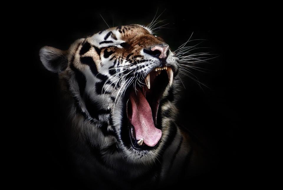 tiger-655593_960_720.jpg