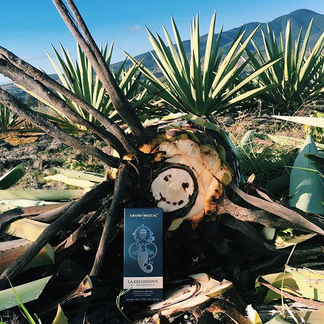 Our mezcal is made from the agave hearts. #LaEscondidaMezcal #ShareOurPassion #MezcalLovers . . . . . . . #drinkoftheday #bartenderlife #madeinmexico #mexicandesign #cocktails #spirits #foodporn #tradition #mexico #mezcal #surflife #ocean #Agave #Oaxaca #drinkstagram
