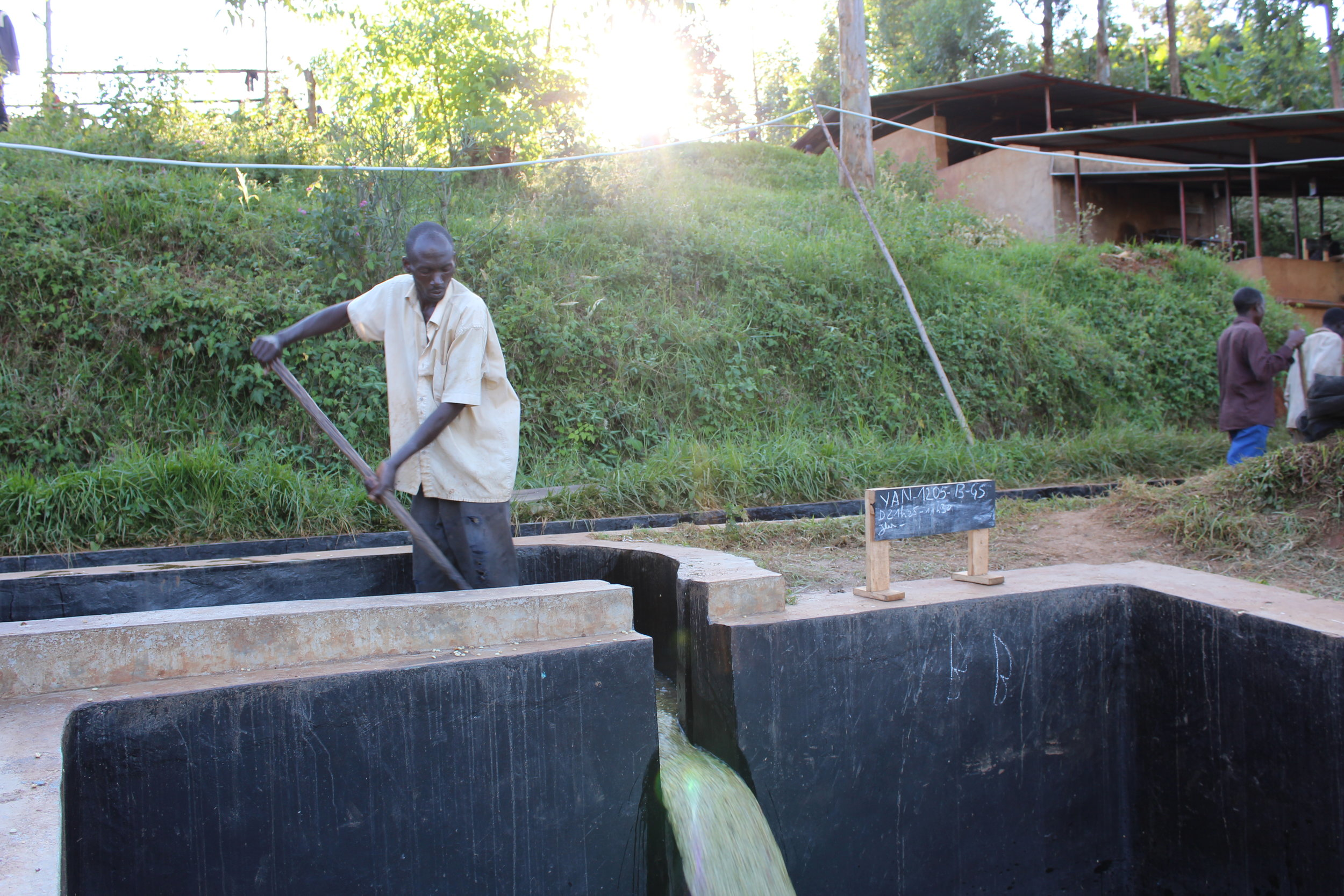 The higher grade parchment getting moved from the washing-grading canal into the soaking tanks