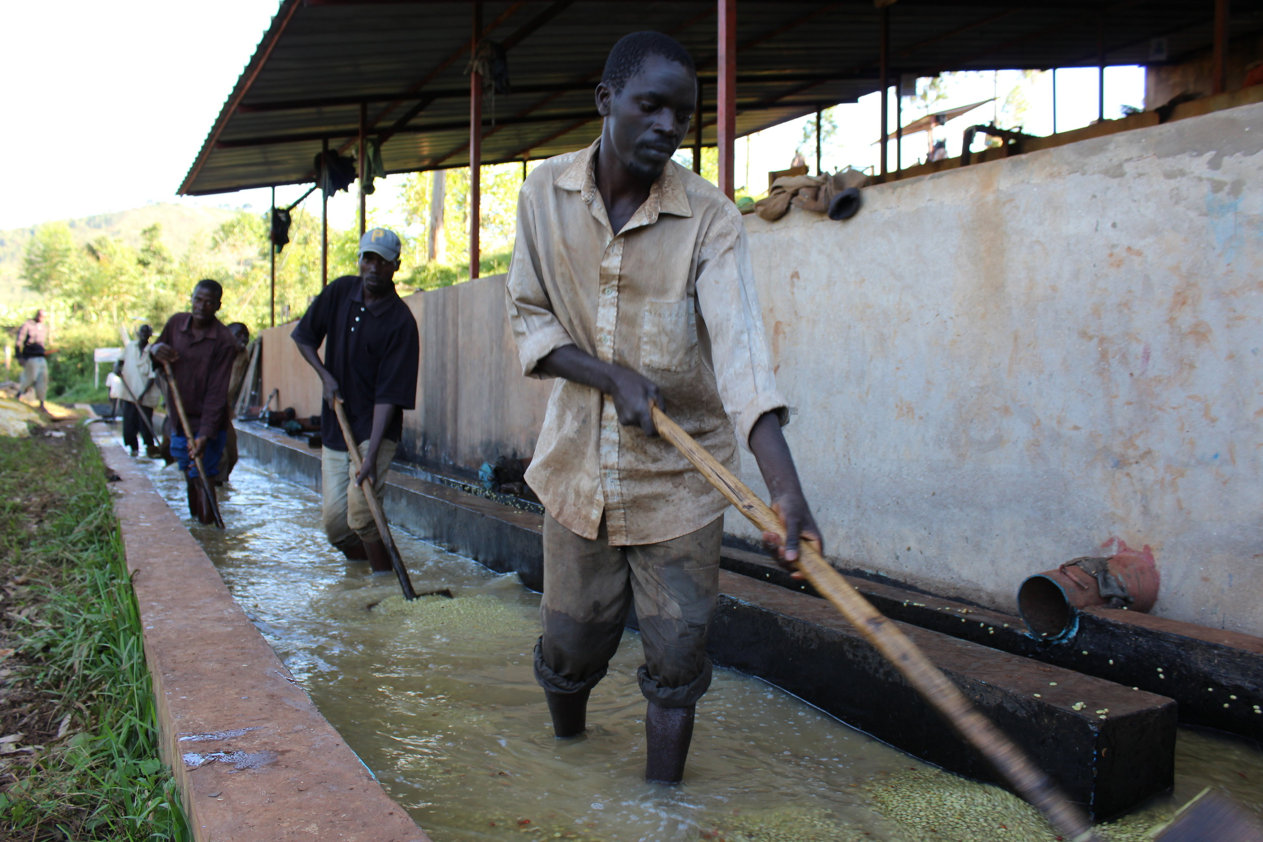 Workers washing parchment in the washing-grading canal
