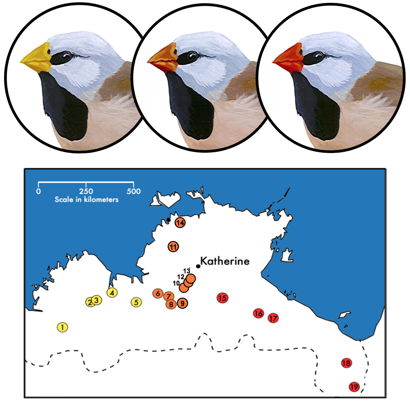 Top: Bill color variation across the range of the long-tailed finch ( Poephila acuticauda acuticauda , left; hybrid individual, center;  P. a. hecki , right.). Population sampling in northern Australia for admixture analysis. Sites are color coded by mean bill color. See Griffith and Hooper (2017).