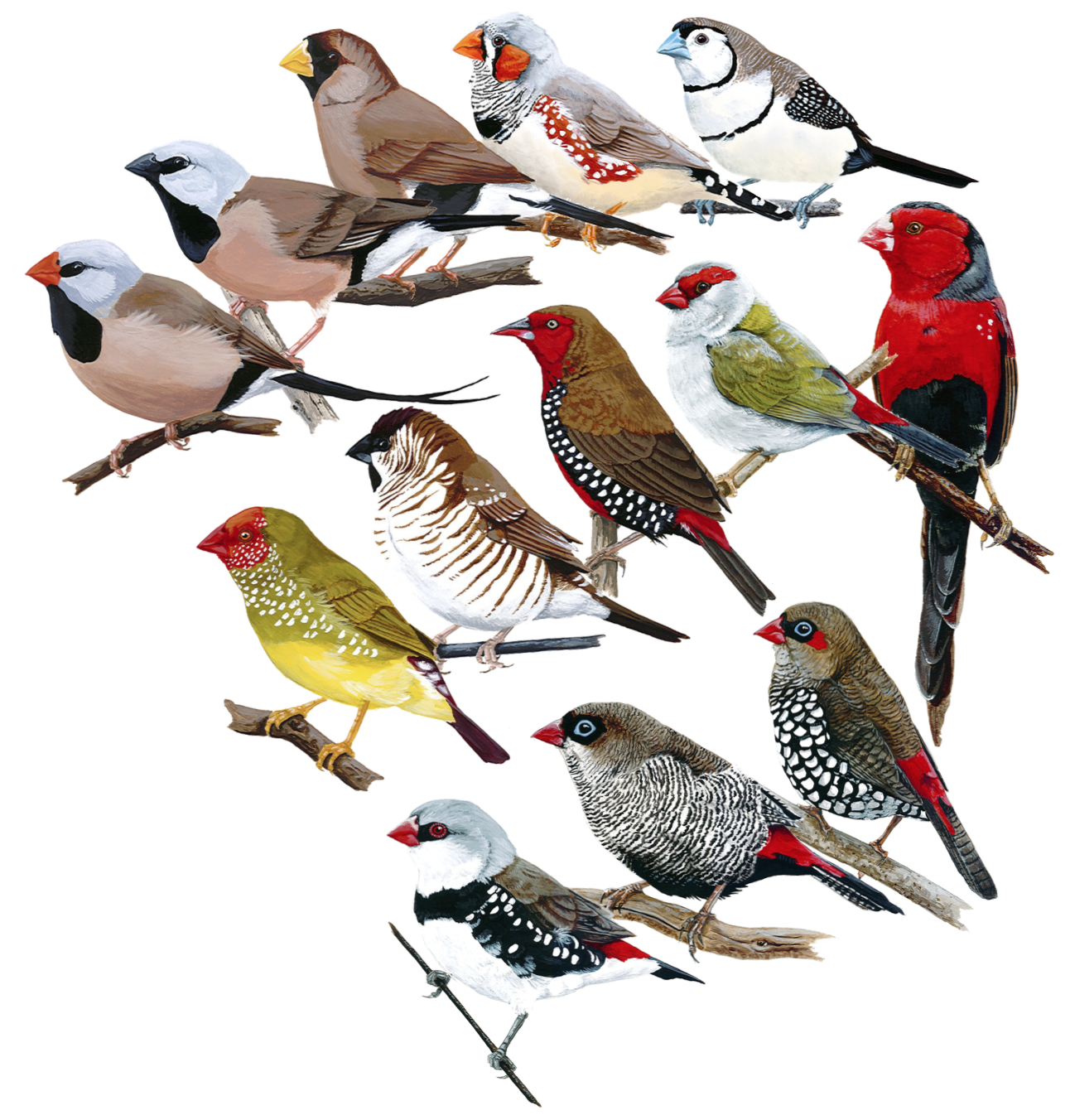 Thirteen members of the Australian grassfinches under study. . Top row, left to right: Long-tailed finch ( Poephila acuticauda ), Black-throated finch ( P. cincta ), Masked finch ( P. personata ), Zebra finch ( Taeniopygia guttata ), Double-barred finch ( Stizoptera bichenovii ). Middle row, left to right: Star finch ( Bathilda ruficauda ), Plum-headed finch ( Aidemosyne modesta ), Painted finch ( Emblema pictum ), Red-browed finch ( Neochmia temporalis ), Crimson finch ( N. phaeton ). Bottom row, left to right: Diamond firetail ( Stagonopleura guttata ), Beautiful firetail ( S. bella ), Red-eared firetail ( S. oculata ).  Original artwork courtesy of the incredibly talented A. E. Johnson.