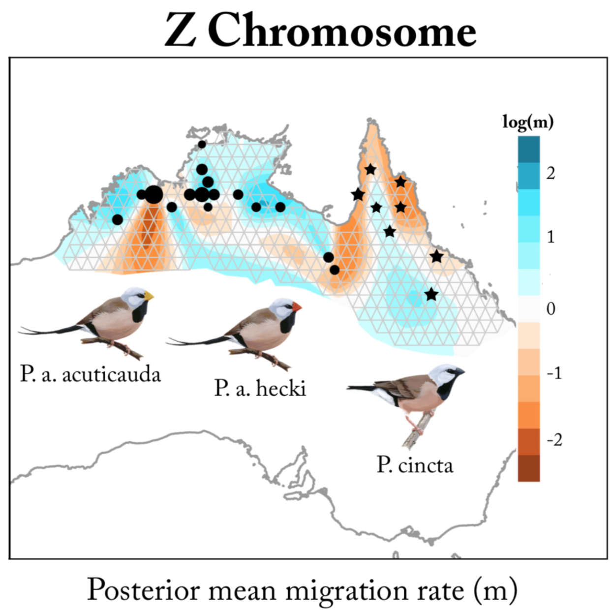 Effective migration surfaces for the sex chromosomes across the range of the long-tailed finch (circles) and black-throated finch ( Poephila cincta;  stars). Color gradient depicts geographic areas that are barriers to effective genetic migration (orange) compared to areas of average (white) or elevated migration (blue). This approach highlights the strength of the Z chromosome as a barrier to migration between long-tailed finch subspecies. See Hooper et al. (2018).