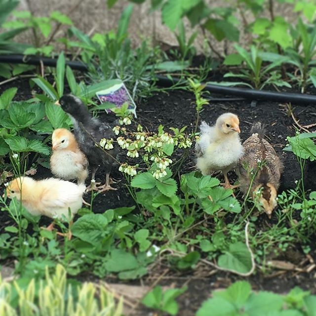 How many chicks do you see?? Don't forget to join our giveaway, contest ends tomorrow! See our previous post for details, good luck 🌱✨🌼🌈 #babychicks #mothernature #babychickens #urbanfarming #farmkids #farmlife #farmlifestyle #🐣 #littlechicken #babyanimals #cutenessoverload #life #cutie #chickenmom #permaculture #permaculturedesign #permaculturefarm #chickensofinstagram #chickens #backyardchickens #spring #giveawaycontest #giveaway #skincaregiveaway #gardening #garden #gardendesign