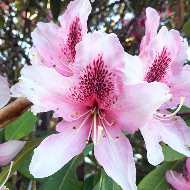 There are so many lovely Rhododendron varieties out here on the coast. Fun fact: Some Rhododendrons have been used in traditional medicine to reduce inflammation. However other varieties are poisonous, so beware and know you're stuff before using this beautiful plant. 🌸✨🌊 #plantmedicine #plantmagic #herbalism #herbalist #magic #wicca #witchesofinstagram #witchy #witchythings #witchyvibes #botanicalillustration #healingherbs #herbs #magical #plantsaremagic #plantsarelife #fiveelementsapothecary #mothernature #spring #harvest #botanicalgardens #plantpower #flowers #flower #rhododendron #oregon #flora #floral #🌸 #beauty