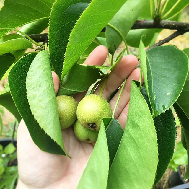 Little Asian Pears 🍐 don't forget food is medicine! #foodforest #growyourown #growfoodnotlawns #pear #pears #asianpears #yum #foodismedicine #mothernature #plantmagic #plants #plantpower #fruittrees #fruit #permaculture #eatmorefruit