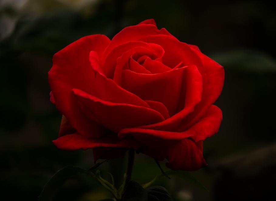 rose-2676949_1920.jpg