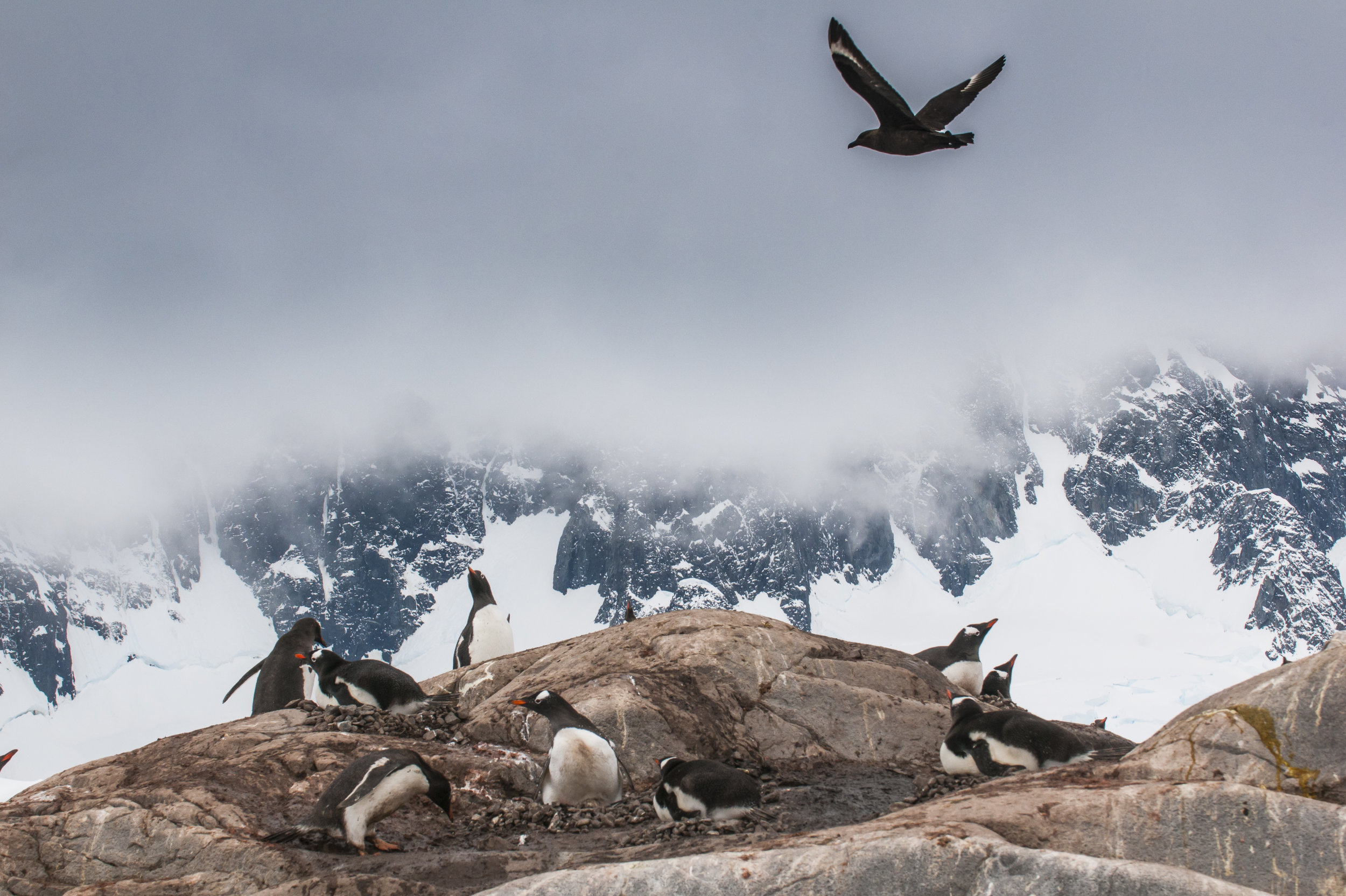 Flying Adélie Penguin (Pygoscelis adeliae), Port Lockroy research station, Antarctica