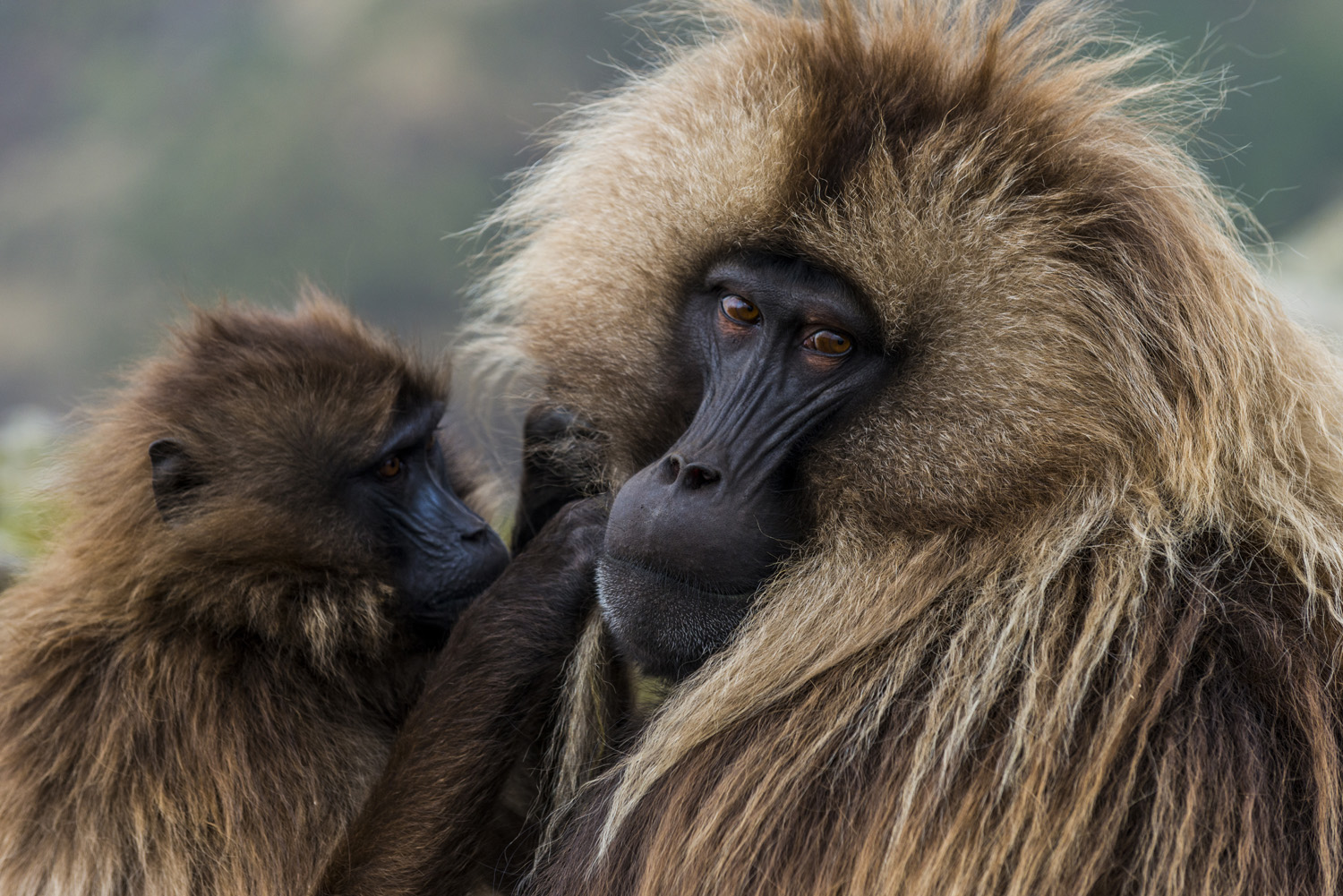 Baby is cleaning a male Gelada baboon, Unesco world heritage sight Semien or Simien mountains national park, Ethiopia