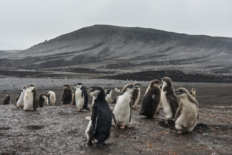 Chinstrap Penguin colony(Pygoscelis antarctica), Saunders island, South Sandwich islands, Antarctica