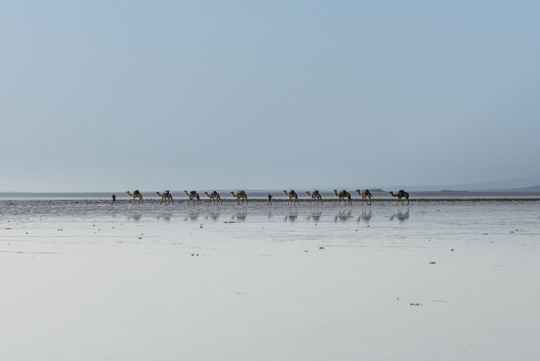 Camel carawan walking in the heat through a  salt lake, Danakil depression, Ethiopia