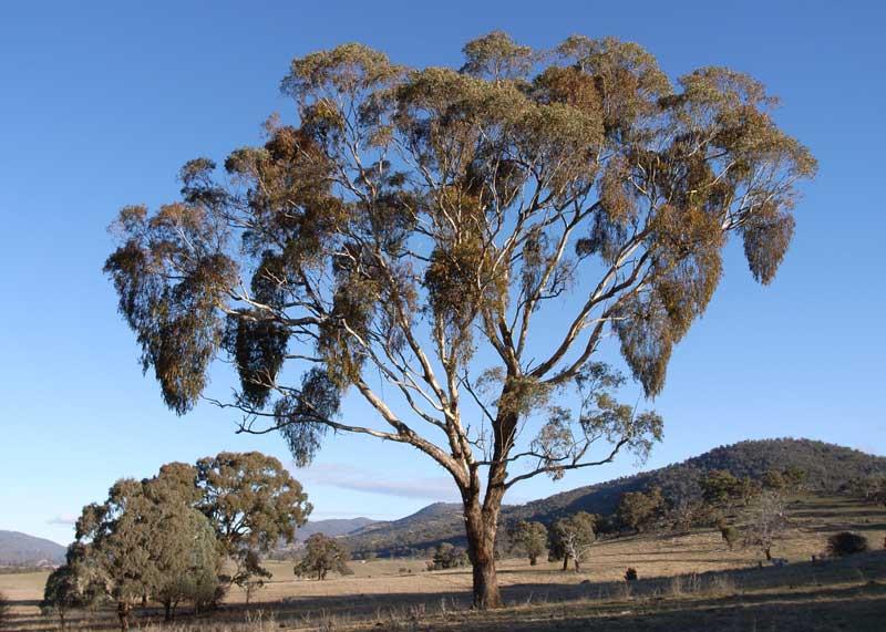 mistletoe-tree.png