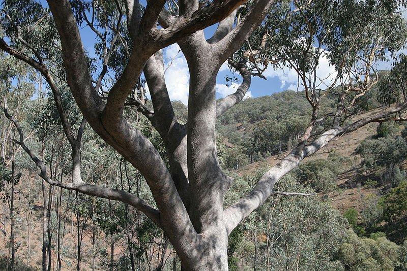 Whitebox_Eucalyptus_albens800.jpg
