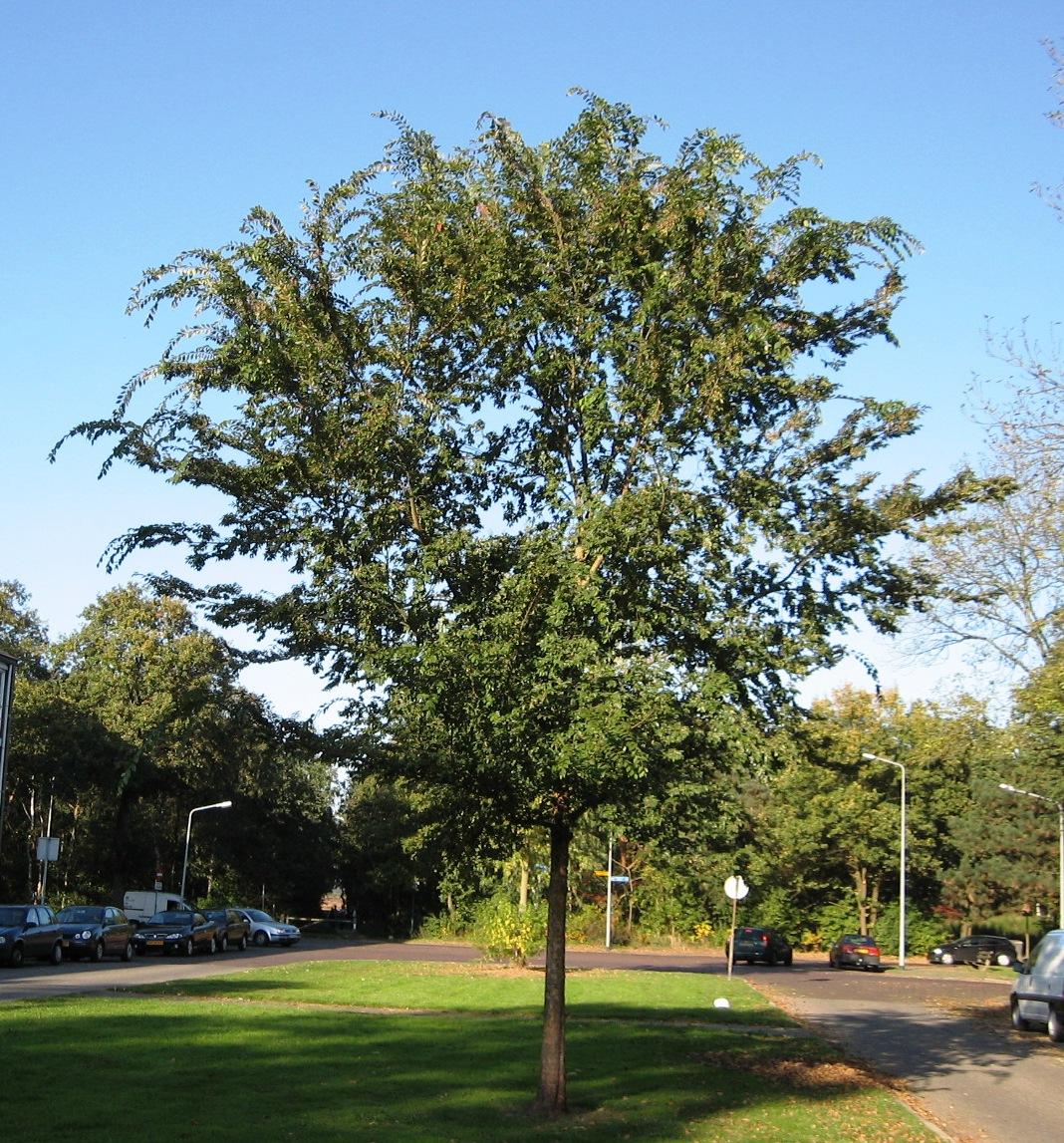 RN_Ulmus_parvifolia_(Hilversum).JPG