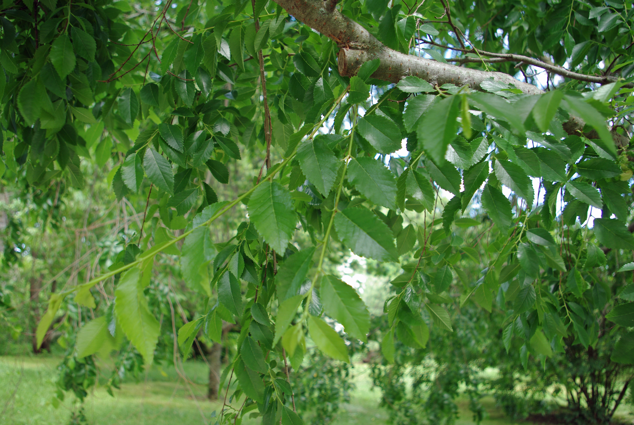 Ulmus_parvifolia_Kings_choice_foliage.jpg