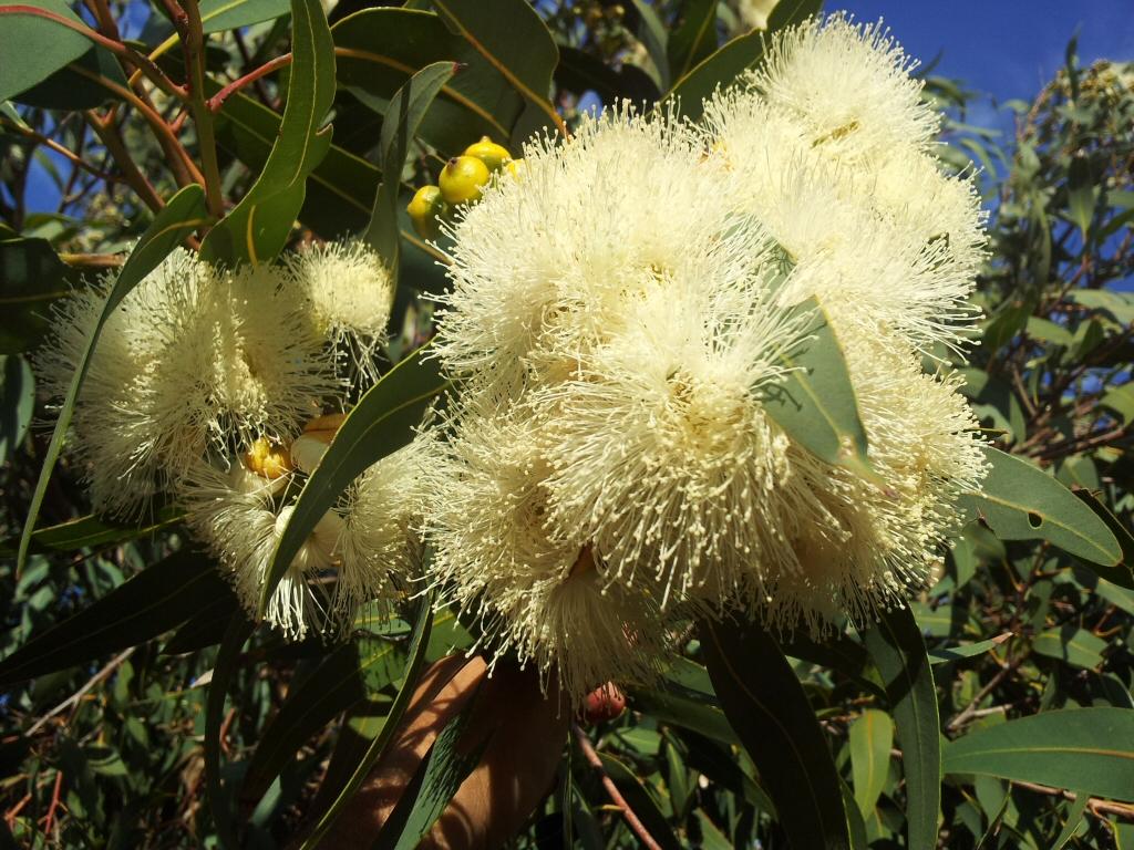 corymbia-eximia-nana-1.jpg