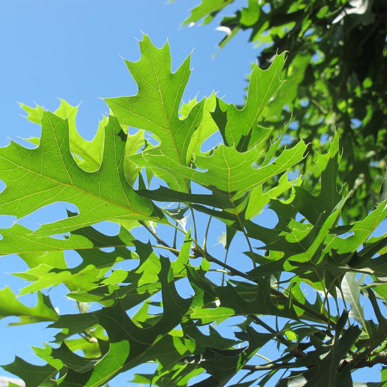Quercus-palustris.jpg