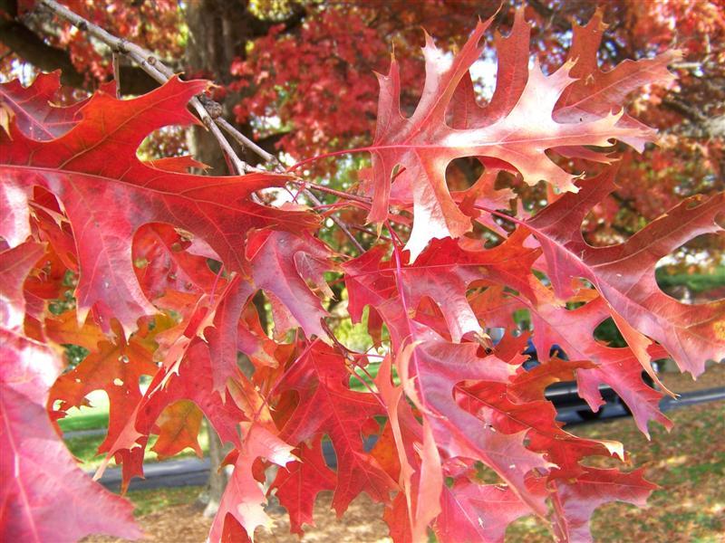Quercus_coccinea_foliage.JPG