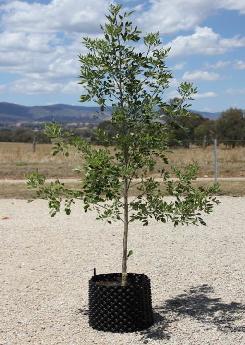 wholesale trees victoria-05.jpg