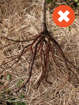 Low fibrous root mass   Bare Root