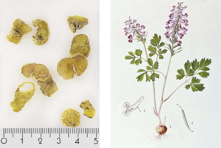 Corydalis Yanhusuo , dried rhizome on the left