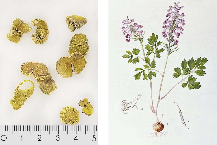 Corydalis Yanhusuo , dried rhizome on the left