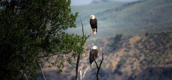eagles-sitting-in-tree.jpg