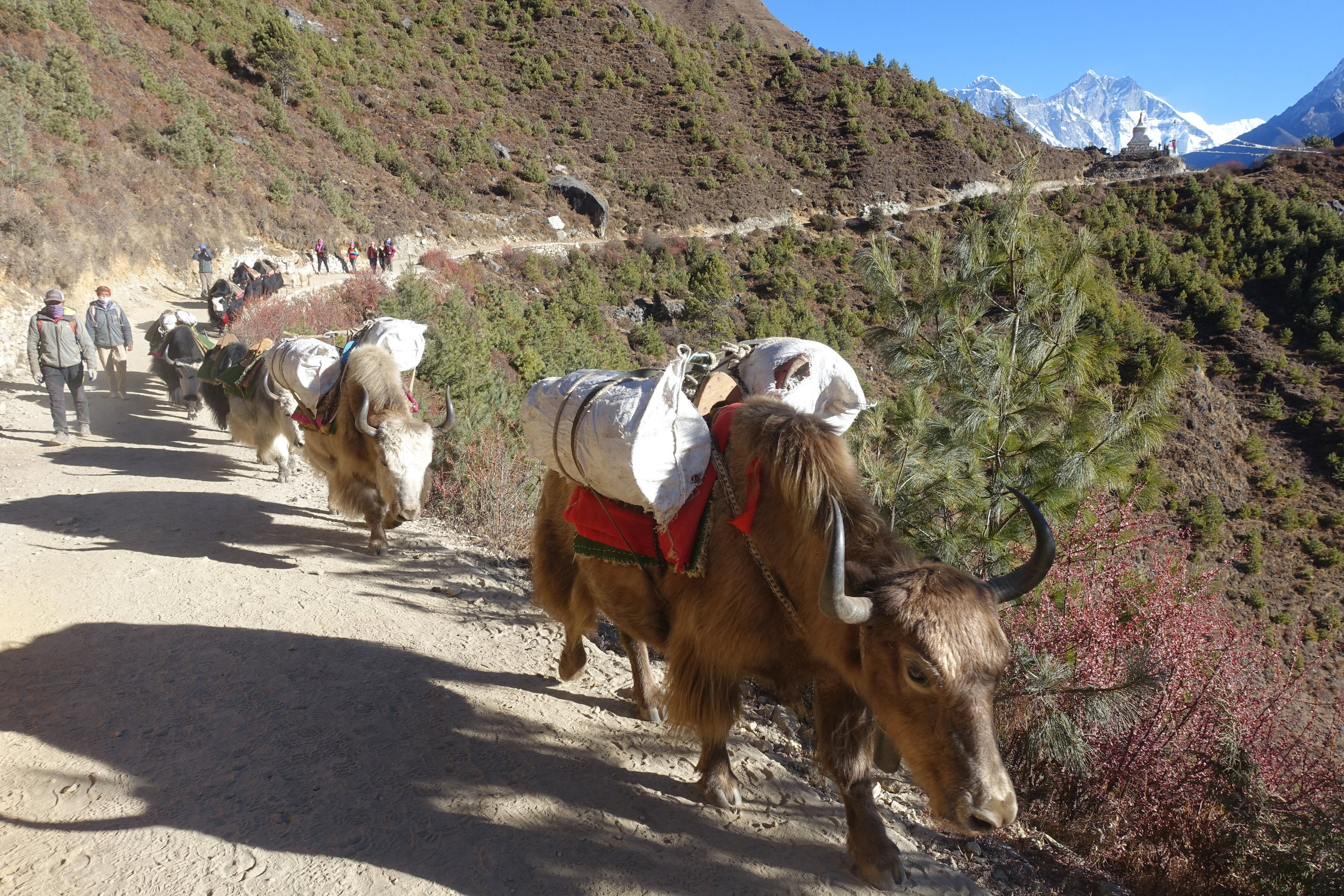 Naks and Yaks crossing the trail. Note the human-folk sticking firmly to the mountainside to avoid being pushed off.