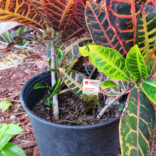 croton and plant tag 2.jpg