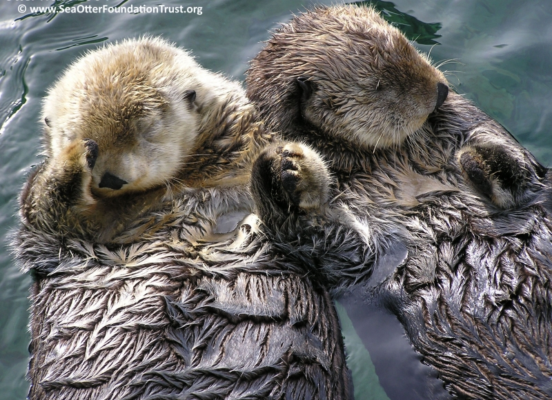 They're holding hands! Sea otters are just as cute as giant pandas and wayyy more deserving of the funding.