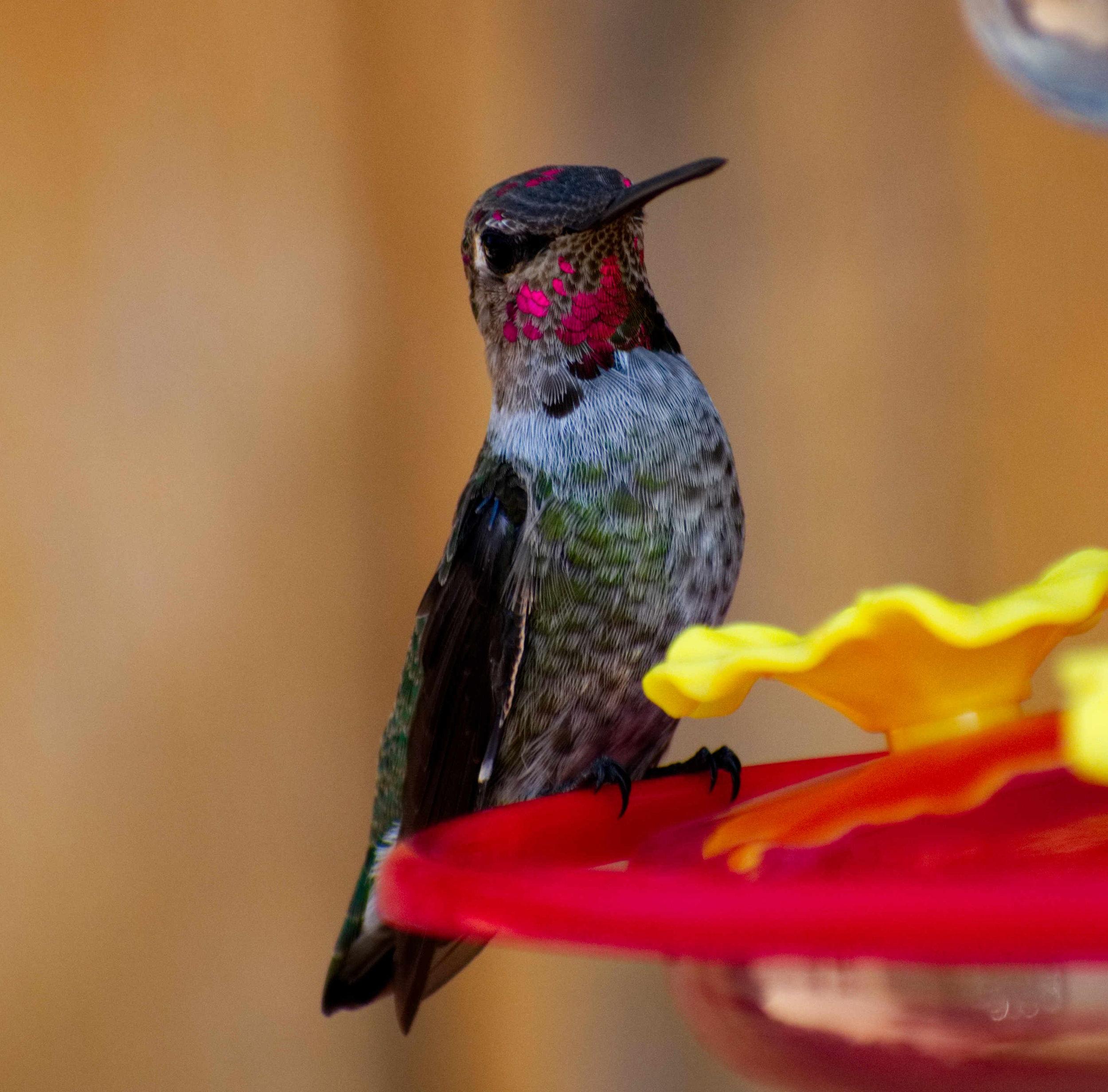 HummingbirdSmall.jpg