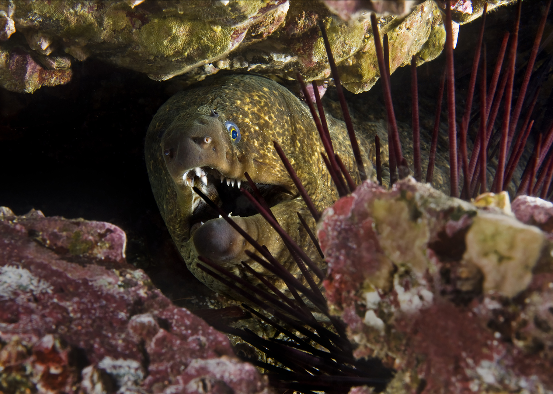 California Moray,  Gymnothorax mordax