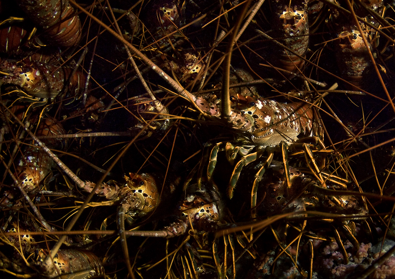 California Spiny Lobster , Panulirus interruptus