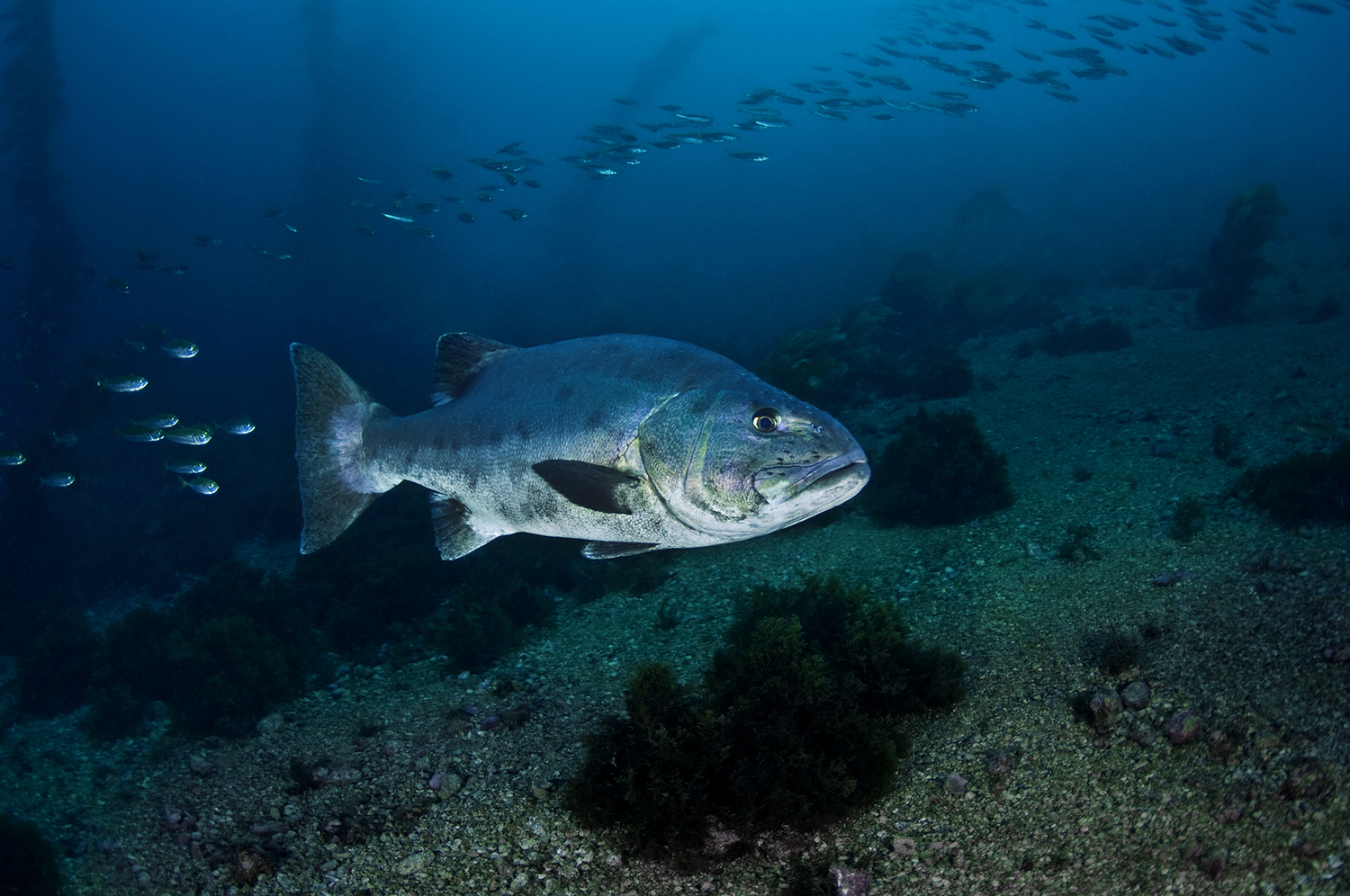 Giant Sea Bass,  Stereolepis gigas
