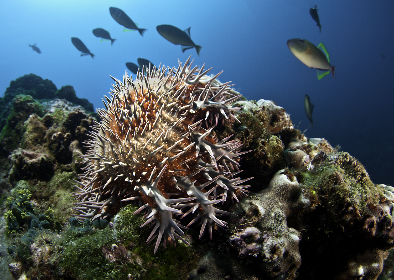 Pacific Crown-of-Thorns,  Acanthaster ellisi