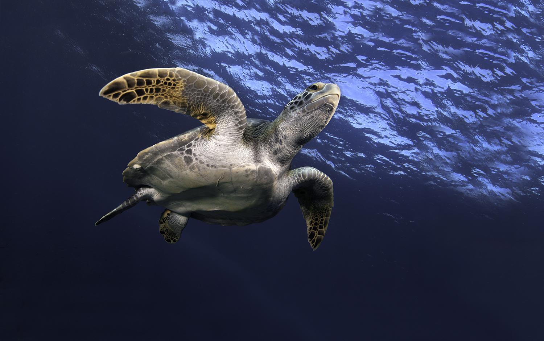 Pacific Green Sea Turtle,  Chelonia agassizi