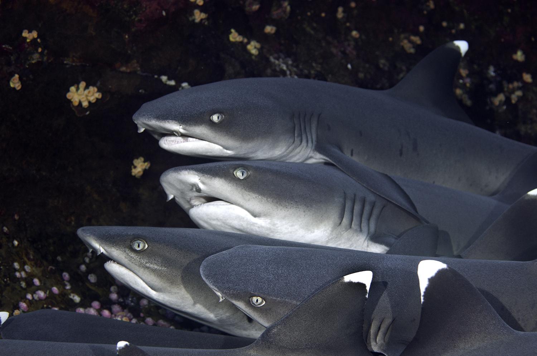 Whitetip Reef Sharks,  Triaenodon obesus