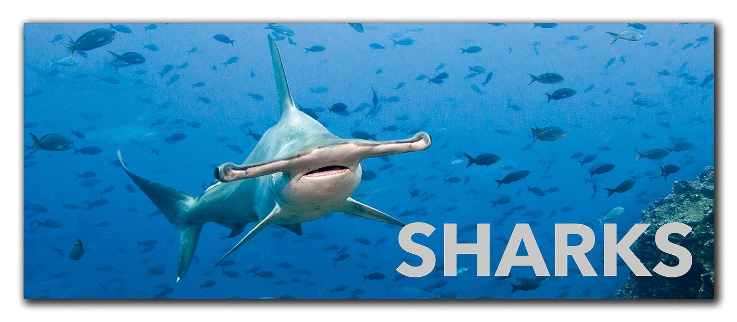 Sharks Lecture Button.jpg