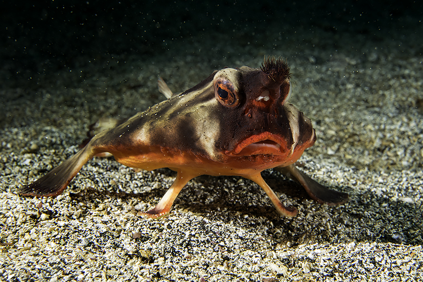 red lipped batfish.jpg