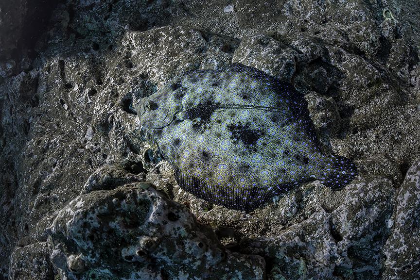 flatfish.jpg