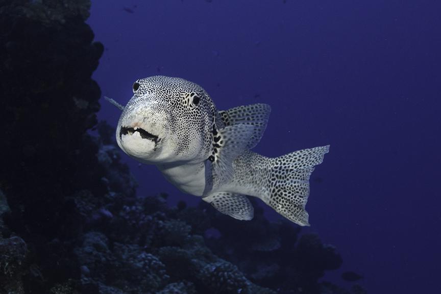 puffer fish 2.jpg
