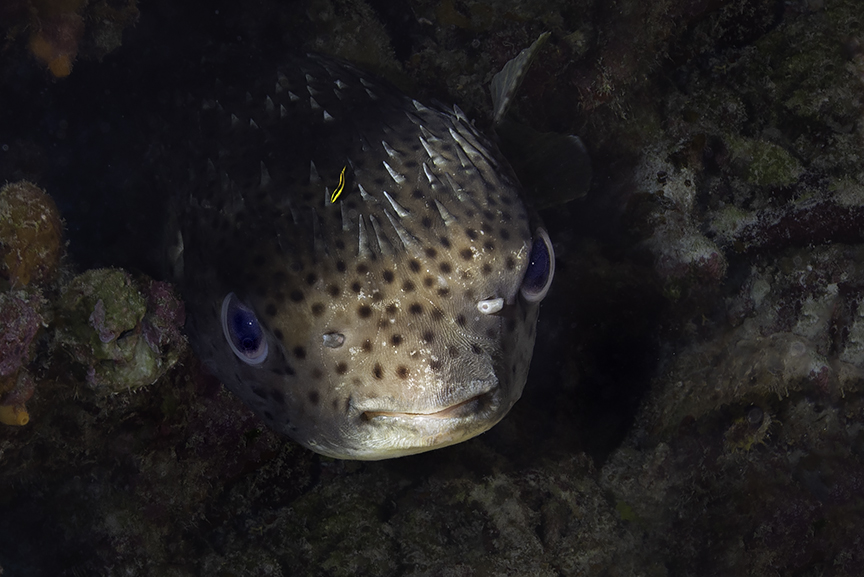 Puffer mad fish.jpg