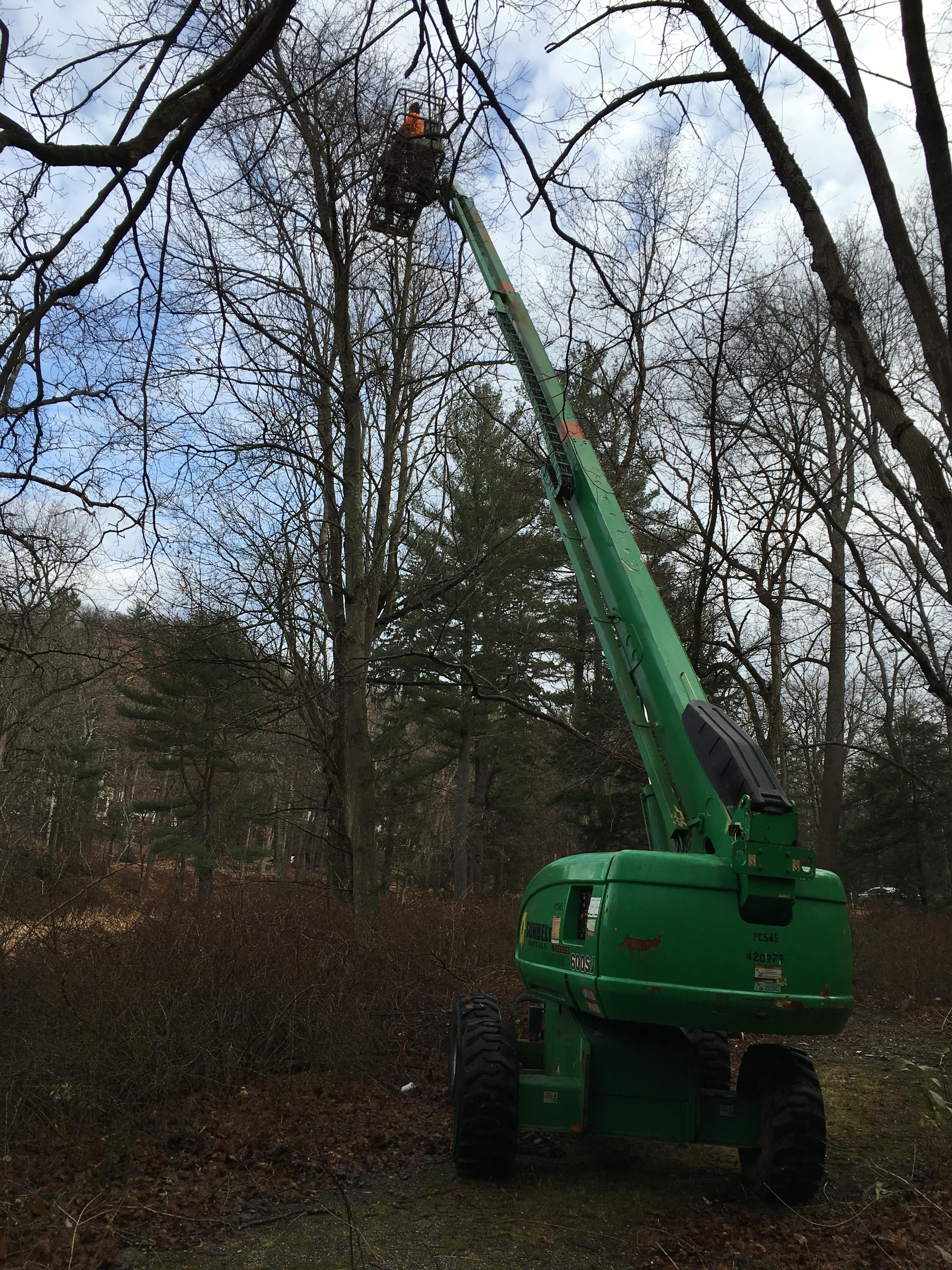 Removing strangling vines at the top of a 20-ft tree.